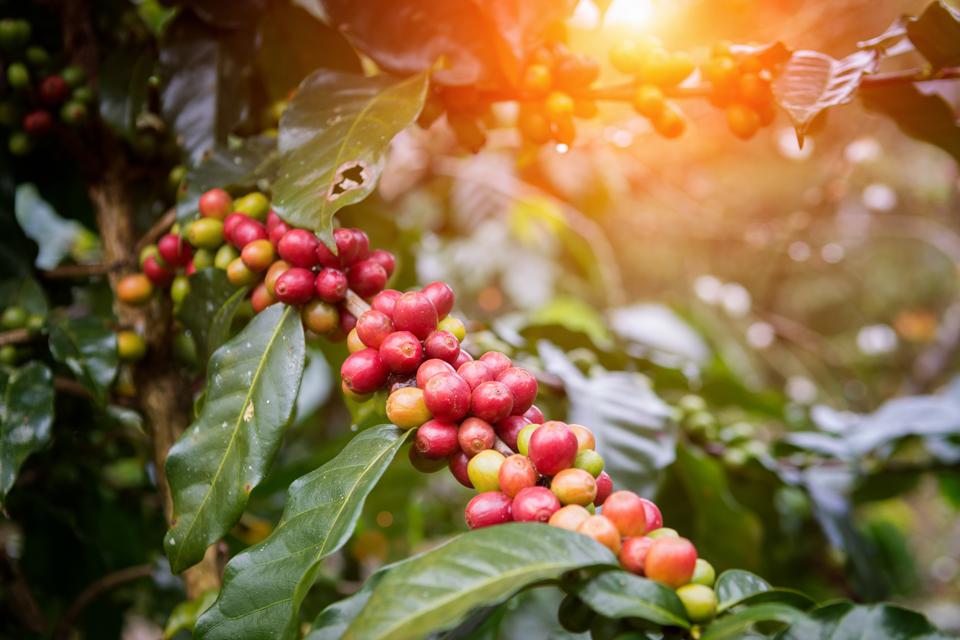 coffee growing in australia, the venture magazine