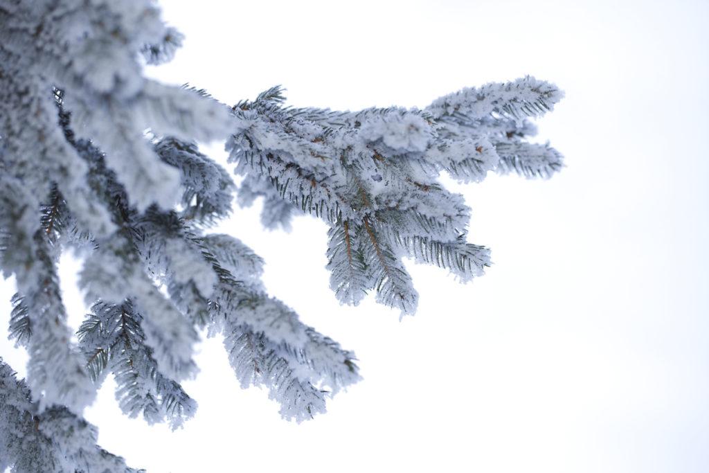 target australia snowy aspen tree, the venture magazine