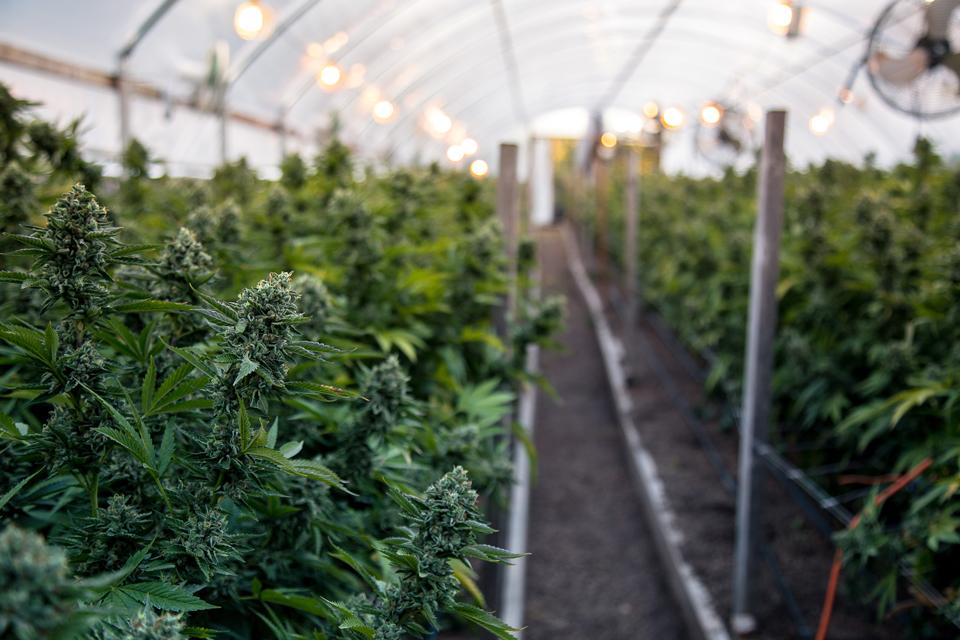 medical marijuana, the venture magazine